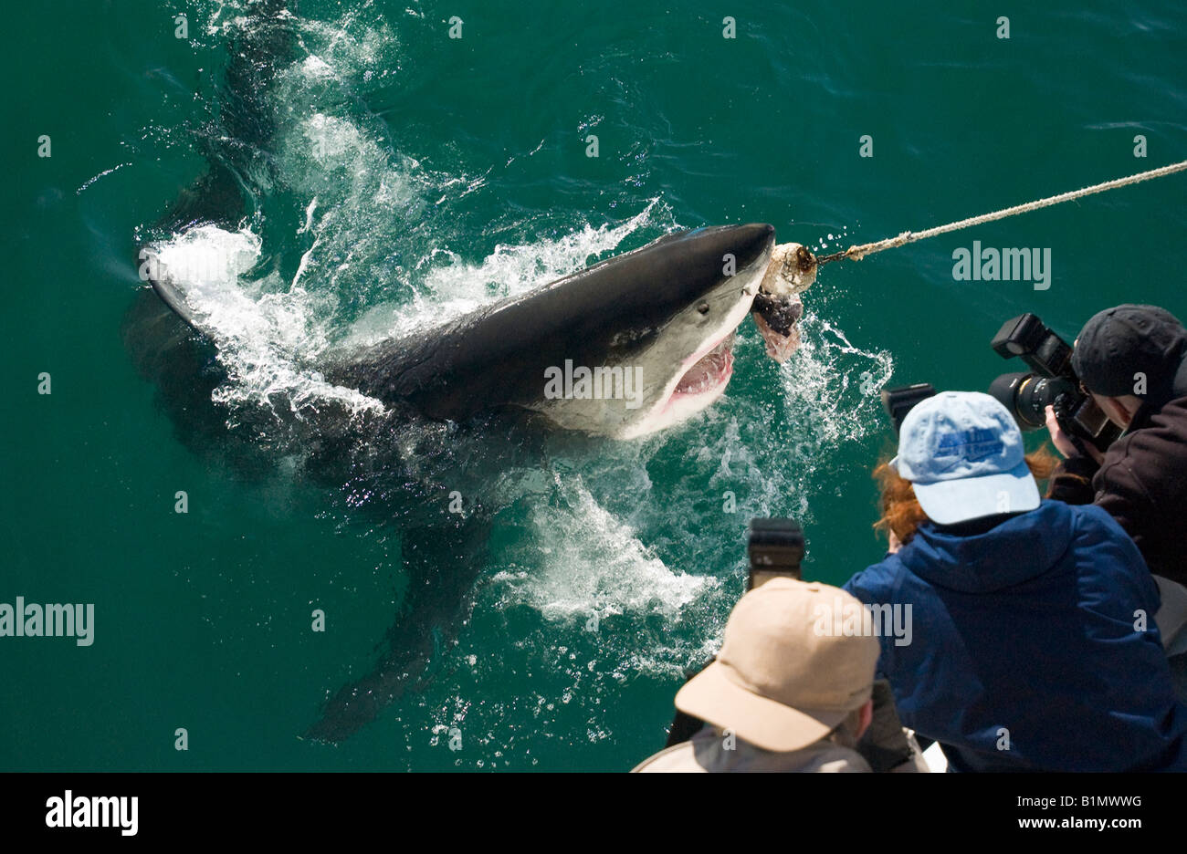 Closeup stop-action wildlife photographers and Great white