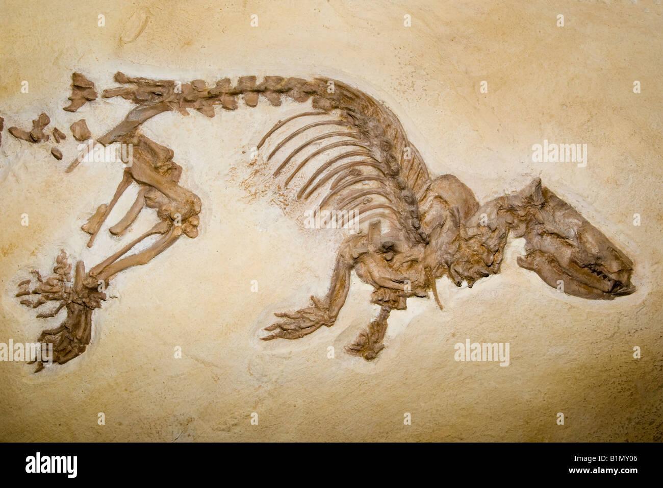 Fossil otter like animal, Palaeosinopa sp., Lower Eocene, Wyoming 50 million years old - Stock Image