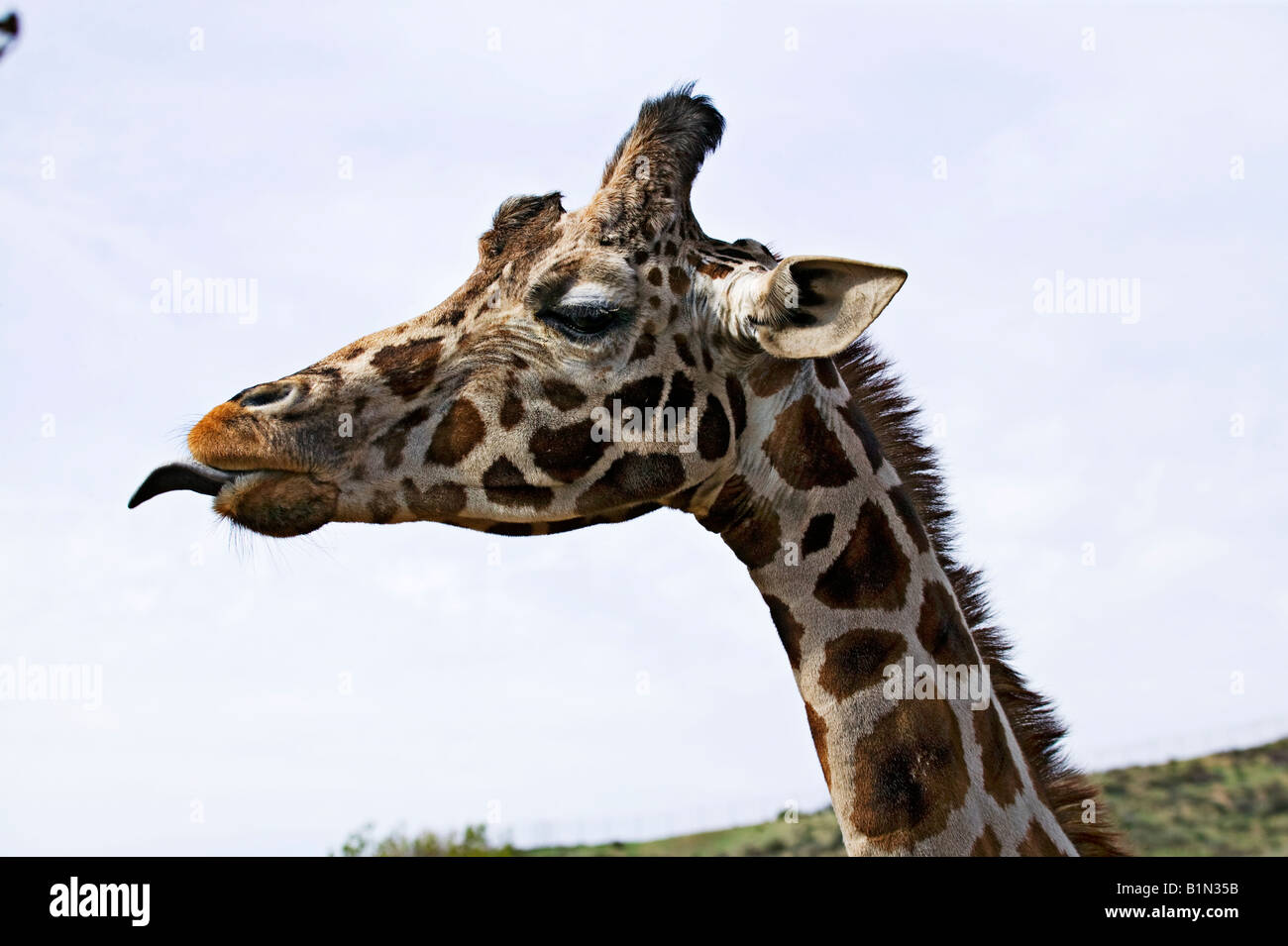 Giraffe sticking tongue out - Stock Image