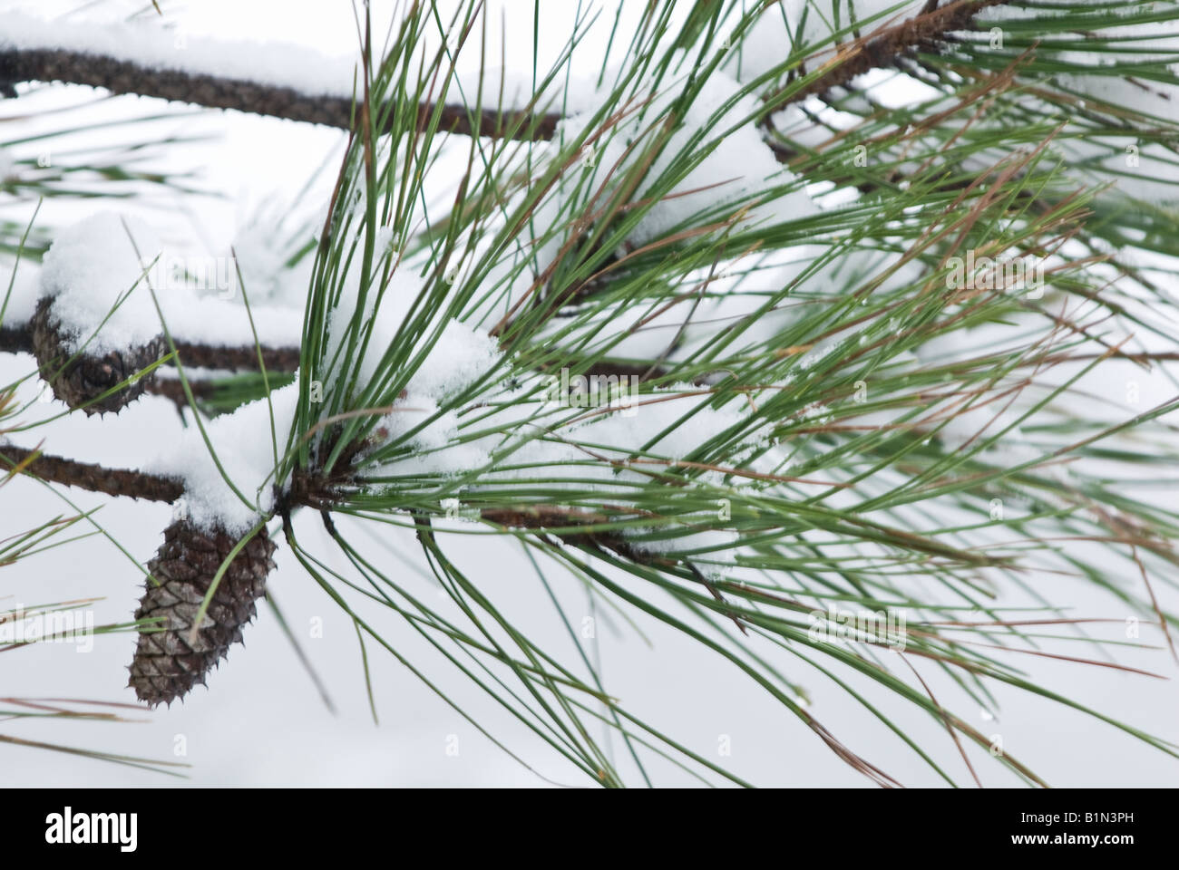 Winter snow covering pine trees in little rock arkansas - Images of pine trees in snow ...