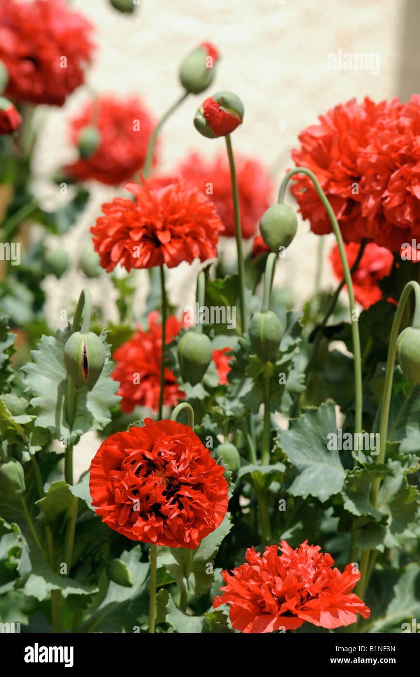 Red Poppy Blooms In An English Cottage Garden Uk Stock Photo