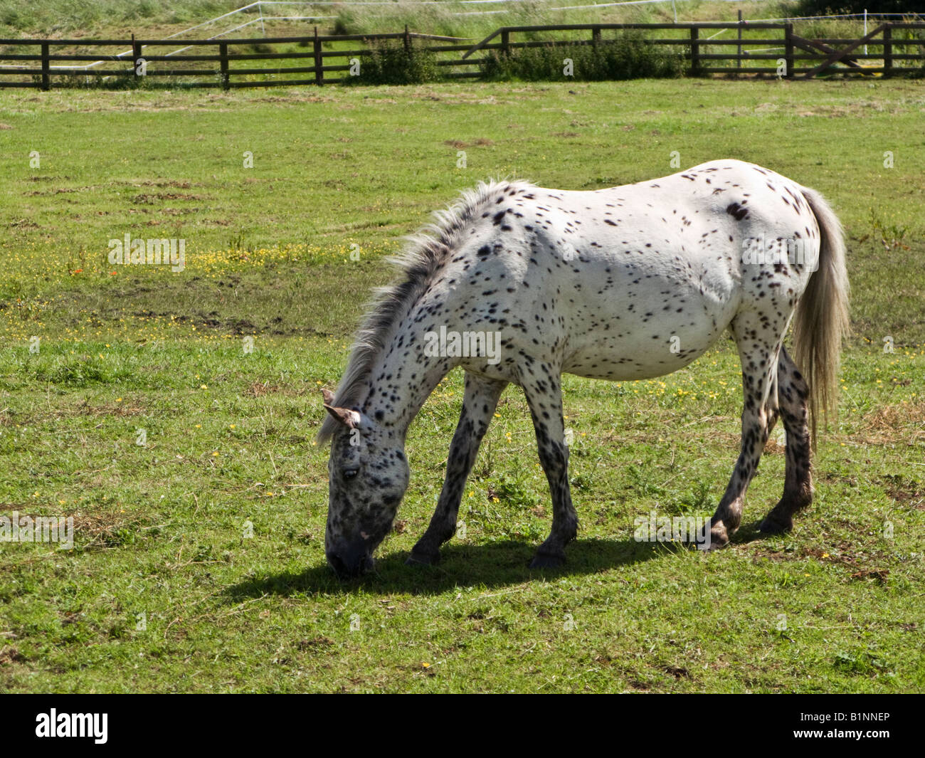 White Leopard Spotted Appaloosa Horse Breed Grazing In A Field Stock Photo Alamy