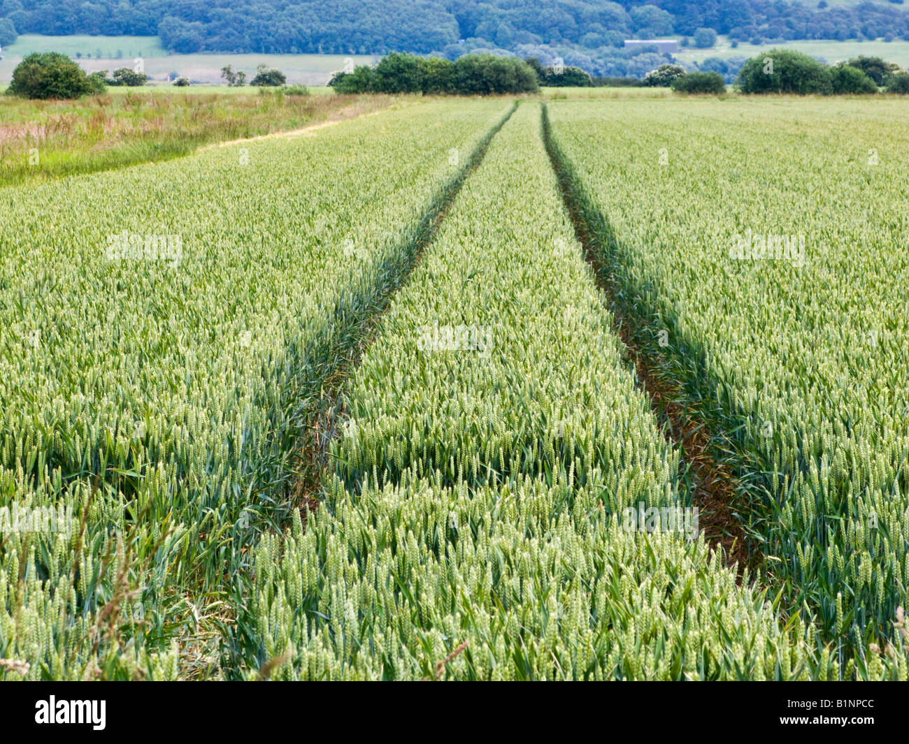 Tractor lines in a wheat field in late spring / early summer, farming UK - Stock Image