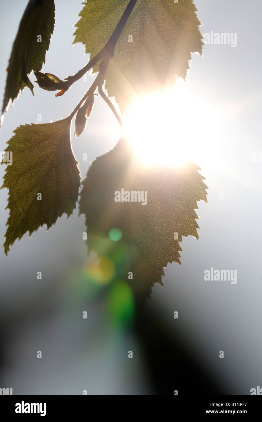 Silver Birch tree leaves - Stock Image