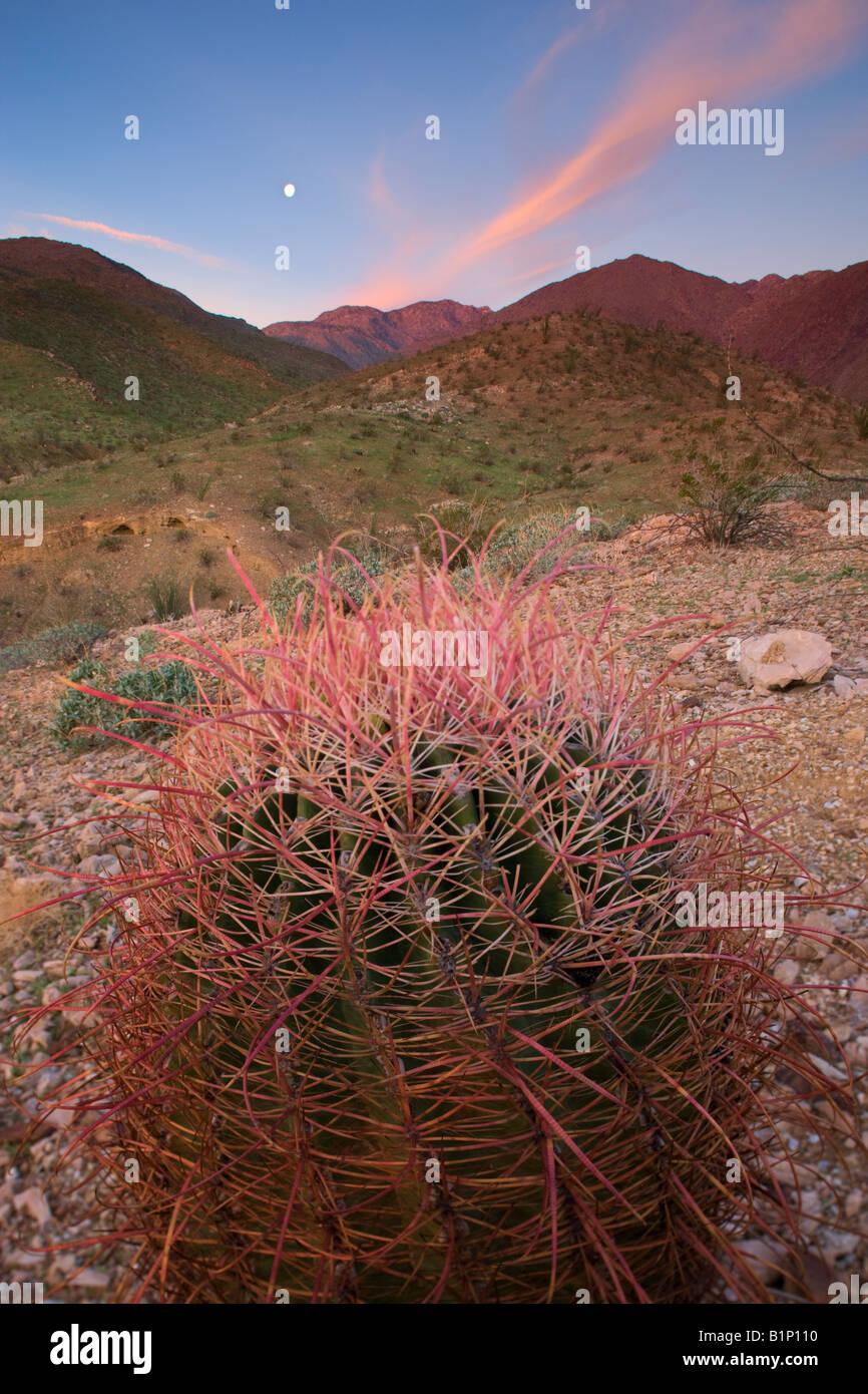 Southwestern Barrel Cactus Anza Borrego Desert State Park California - Stock Image