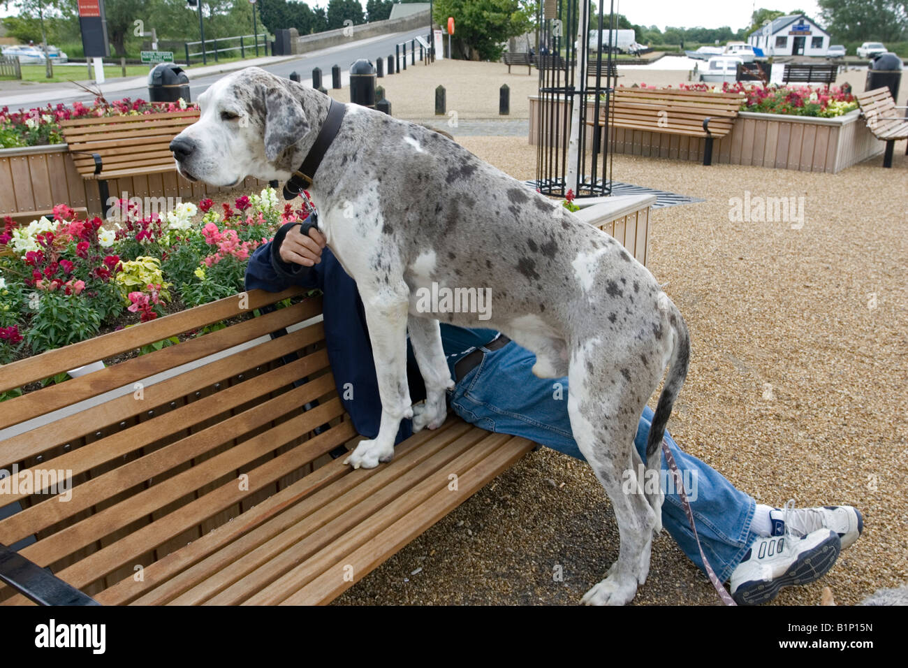Large Great dane dog standing on seat with owner Norfolk Broads UK - Stock Image