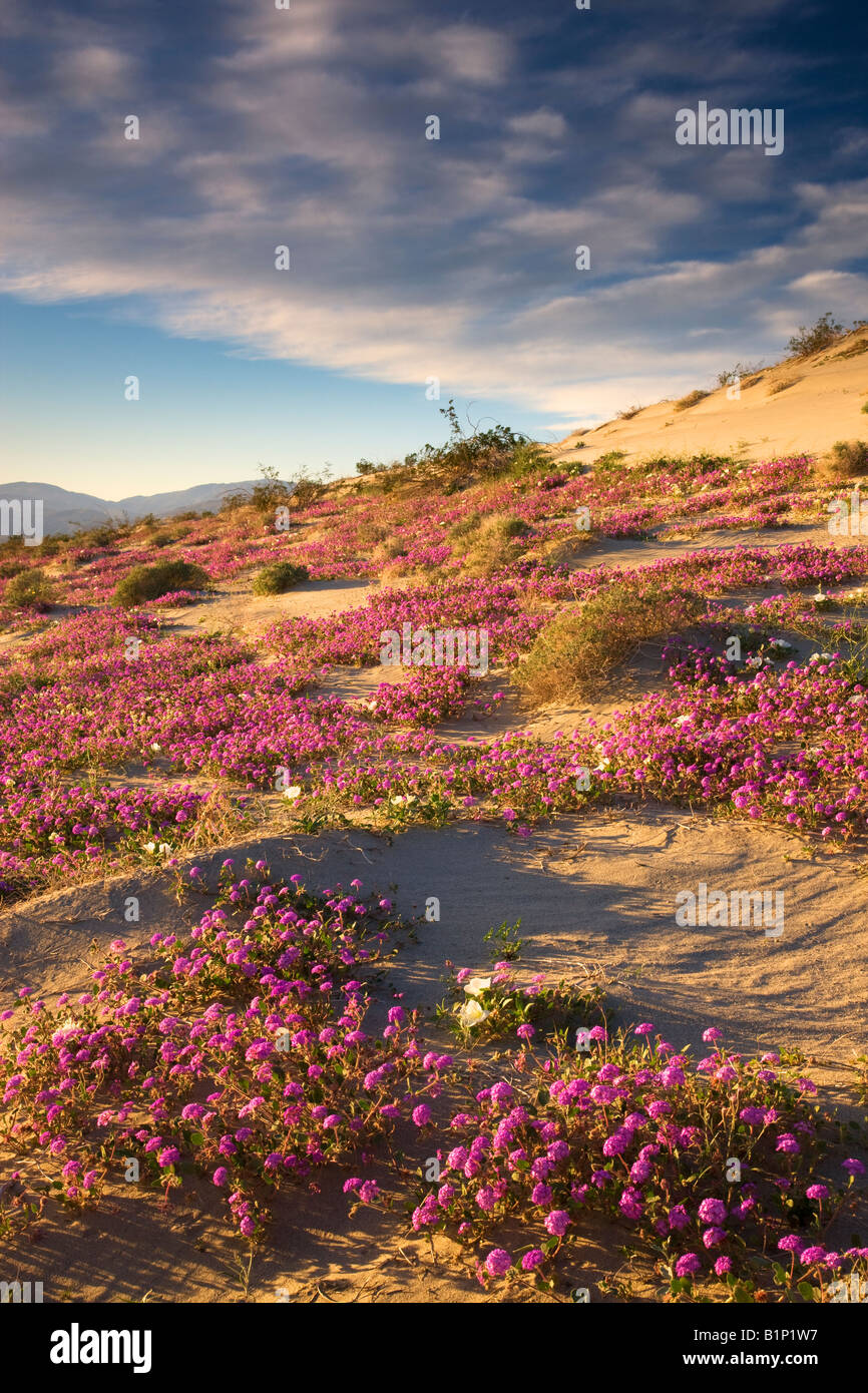 Wildflowers Desert Sand Verbena Abronia villosa Anza Borrego Desert State Park California - Stock Image