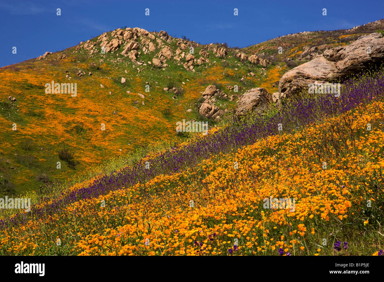 Wildflowers, in the burned hills of San Diego County from the 2007 Witch Creek Fire near Lake Hodges, California. - Stock Image