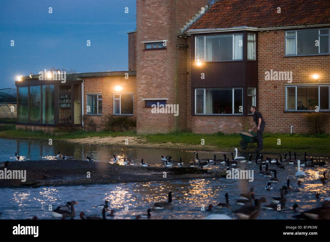 Floodlit evening feeding time at the Wildfowl & Wetlands Trust Slimbridge Wetland Centre, Gloucestershire - Stock Image