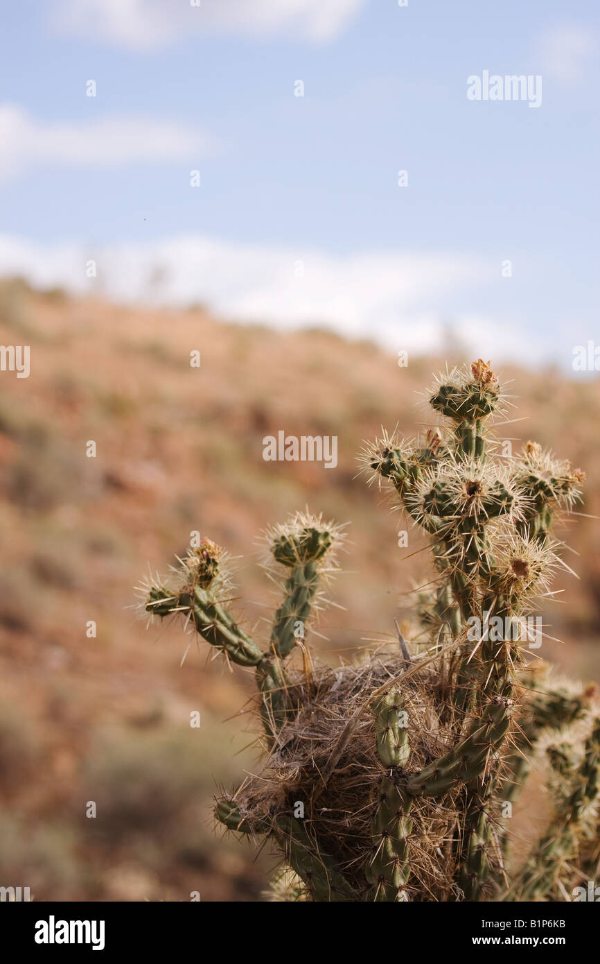 Bird nest in top of buckhorn cholla cactus (Opuntia acanthocarpa), with shallow depth of field Stock Photo