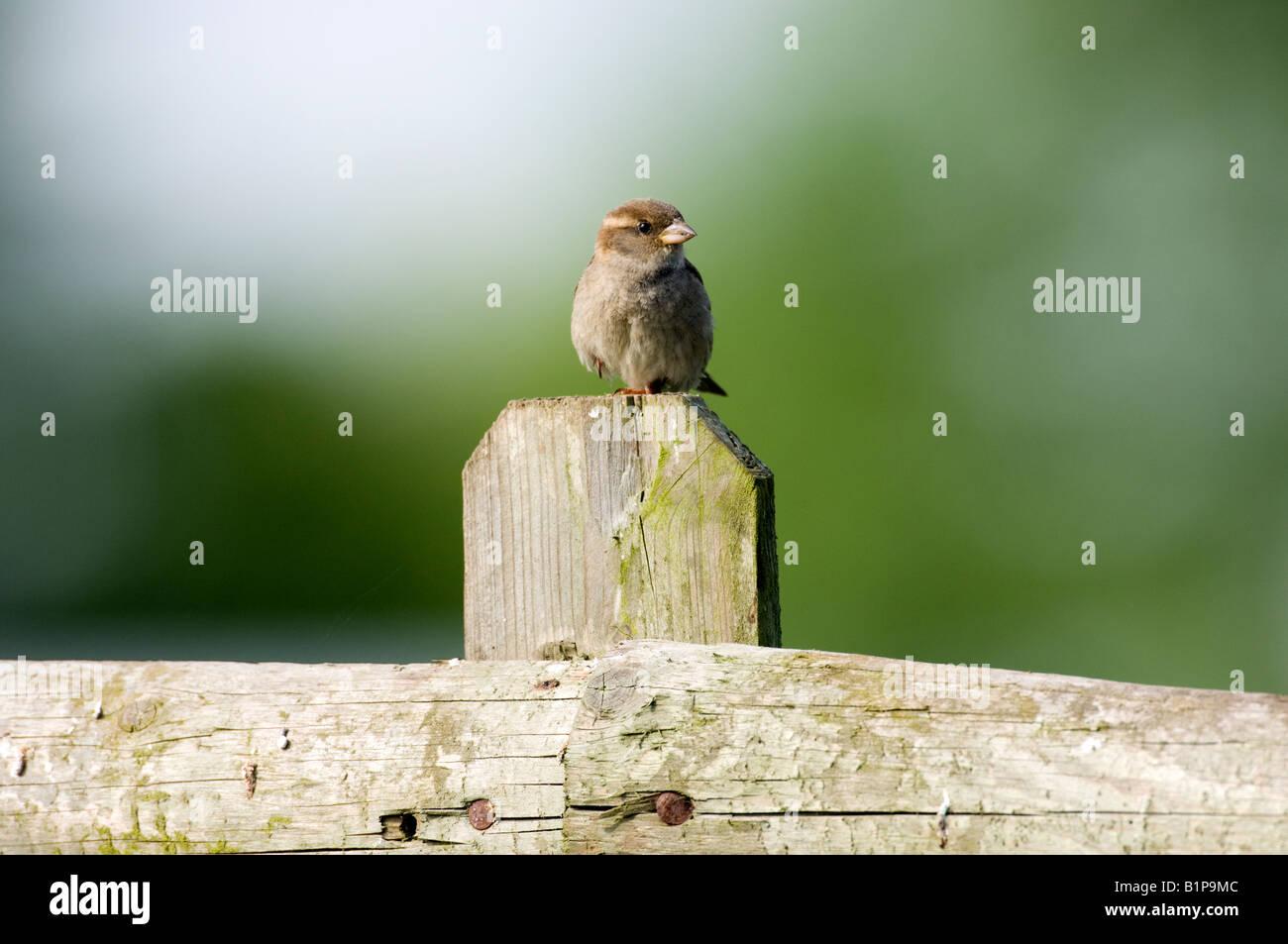 Female house sparrow (Passer domesticus) - Stock Image