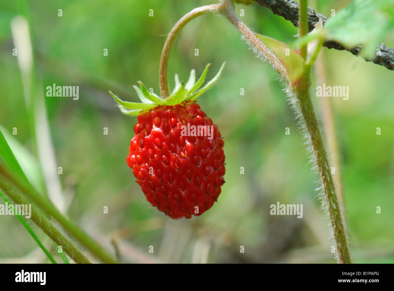 Close up of the wild strawberry Stock Photo