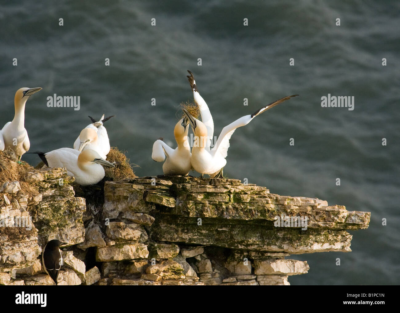 Gannets nesting at Staple Newk, Bempton Cliffs - Stock Image