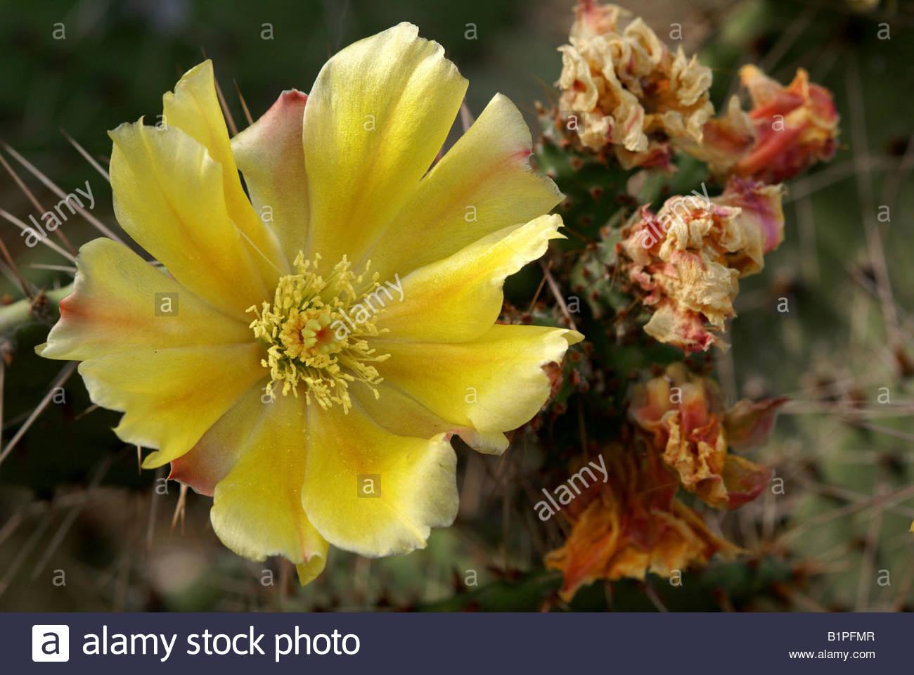 Opuntia ficus indica | flower of Indian Fig Opuntia cactus | fleur de Figuier de Barbarie Stock Photo