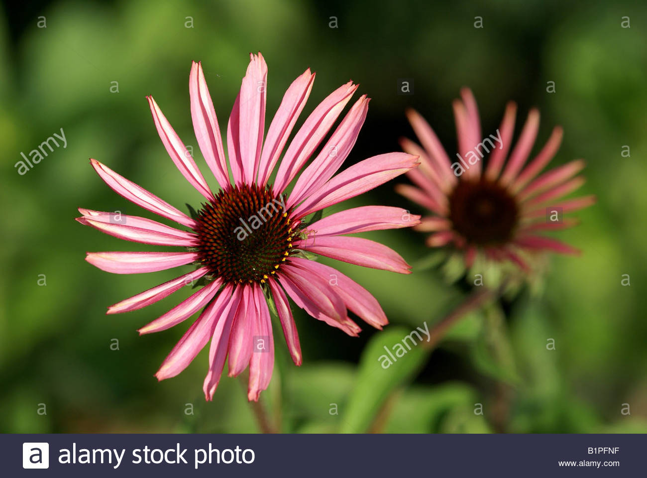 Echinacea purpurea also named Eastern purple coneflower - Stock Image