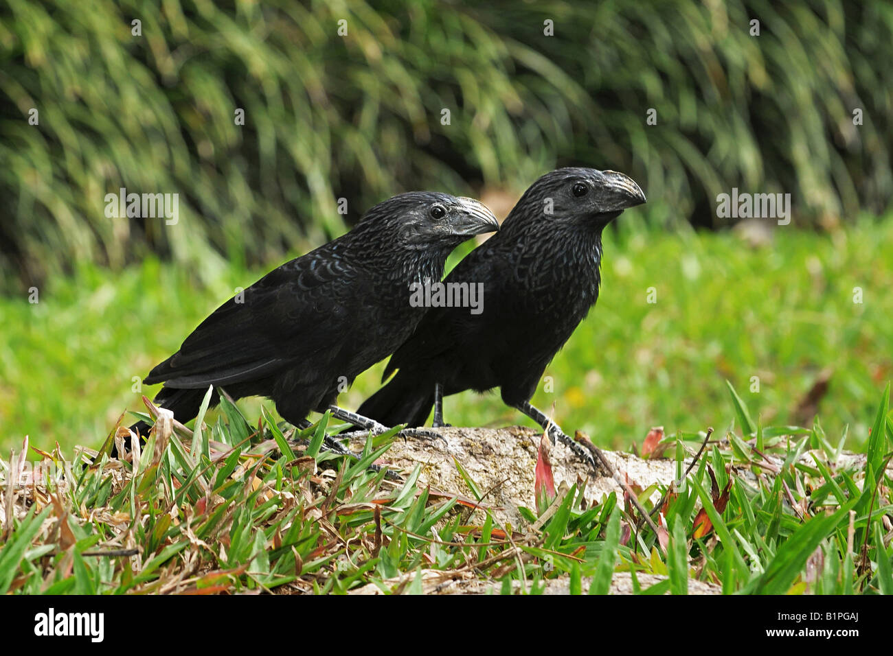 GROOVE BILLED ANI Crotophaga sulcirostris Pair on a trunk N W COSTA RICA - Stock Image