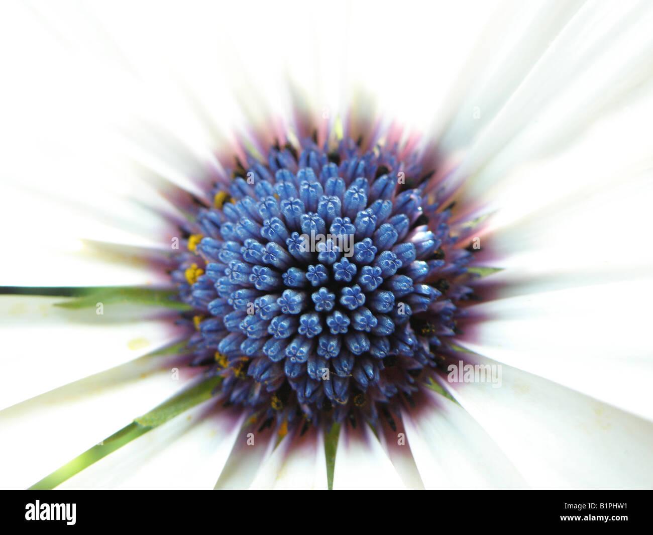 White osteospermum flower with blue centre stock photo 18321997 alamy white osteospermum flower with blue centre mightylinksfo