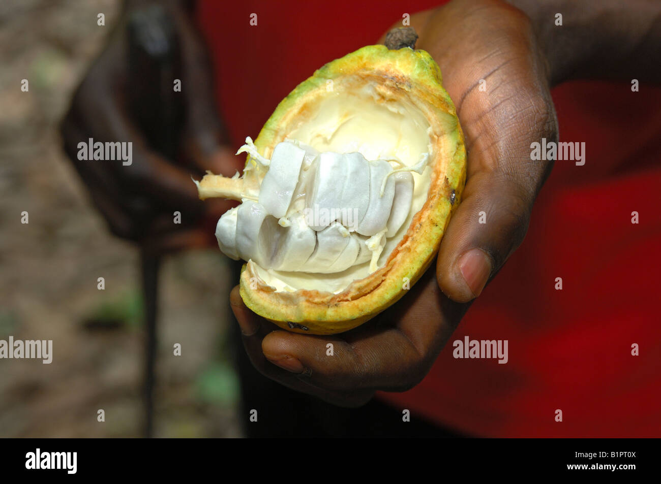 Opened cacao fruit, Theobroma cacao, seeds are covered by a white pulp, Mampong Ghana - Stock Image
