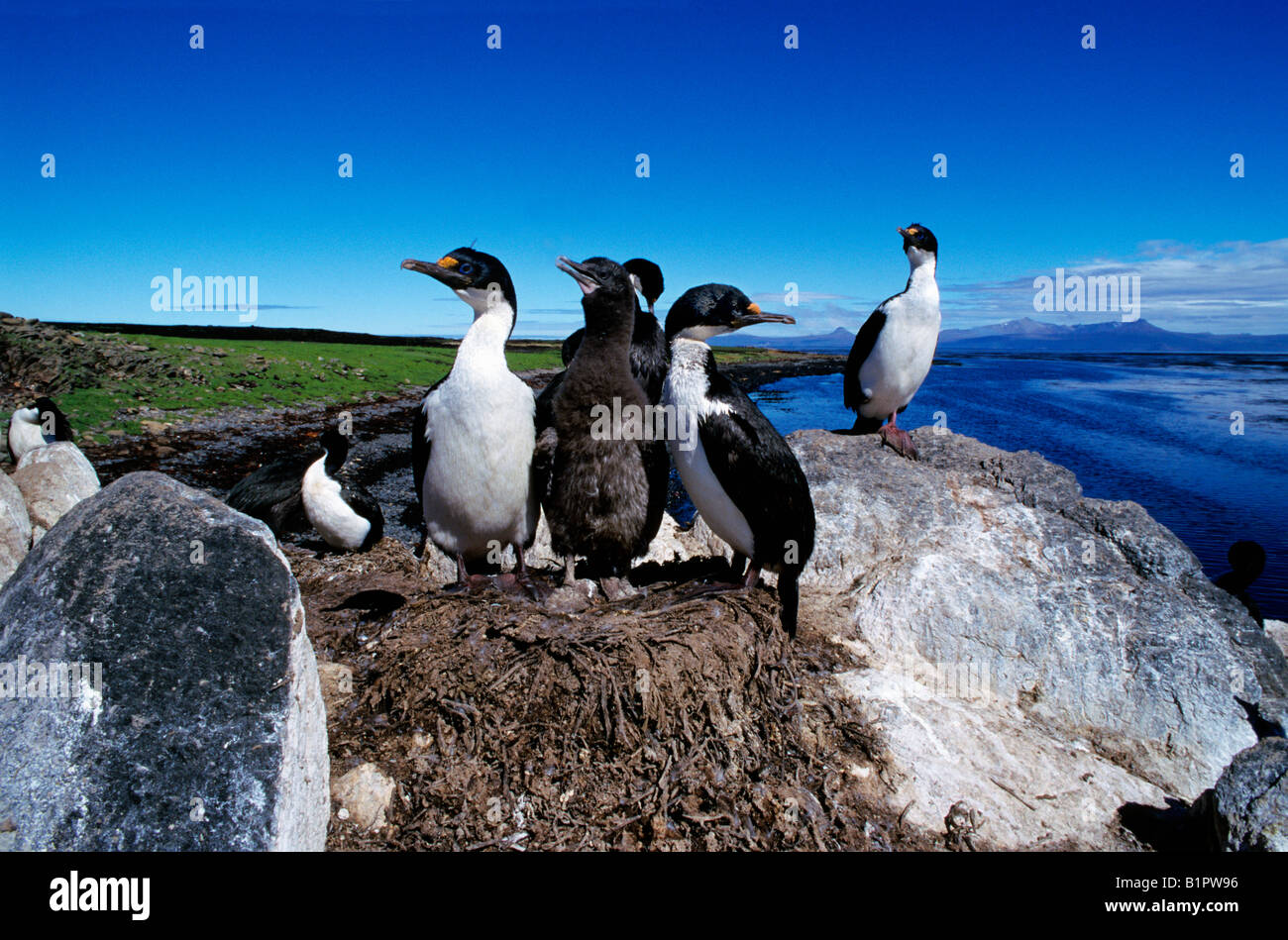 cormoran kerguelen imperial Shag aka Blue eyed Shag Phalacrocorax atriceps on nest America American animal animals - Stock Image