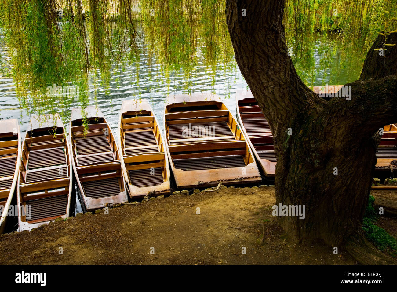 Punts tied up along the bank of the River Cam beneath a weeping willow tree at Cambridge, England, UK - Stock Image