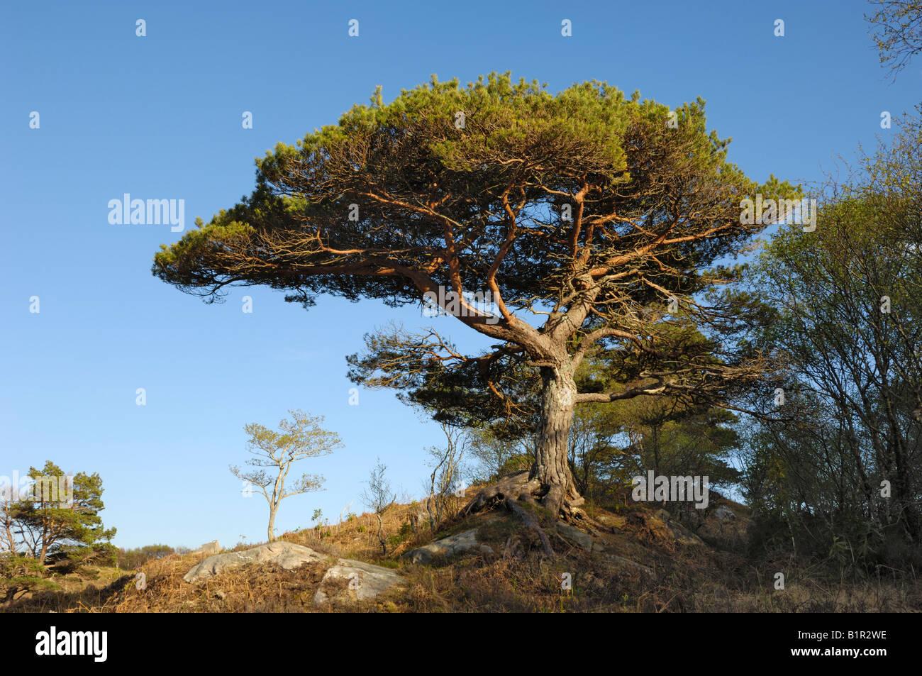 Scots Pine tree, Pinus sylvestris - Stock Image