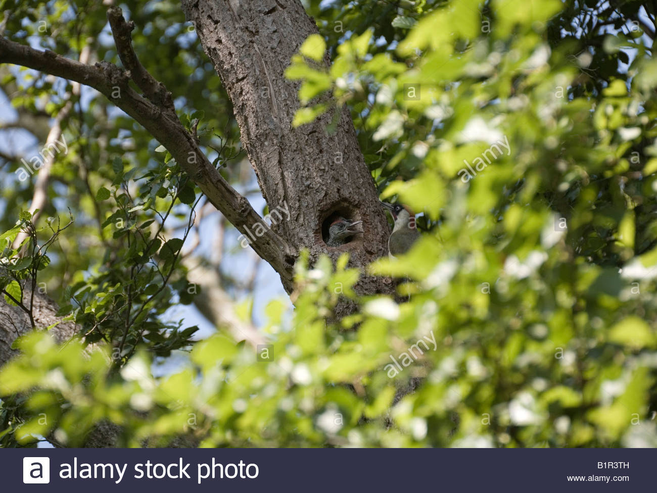 Green woodpecker chick and adult male at nest hole Picus Viridis/Picidae - Stock Image