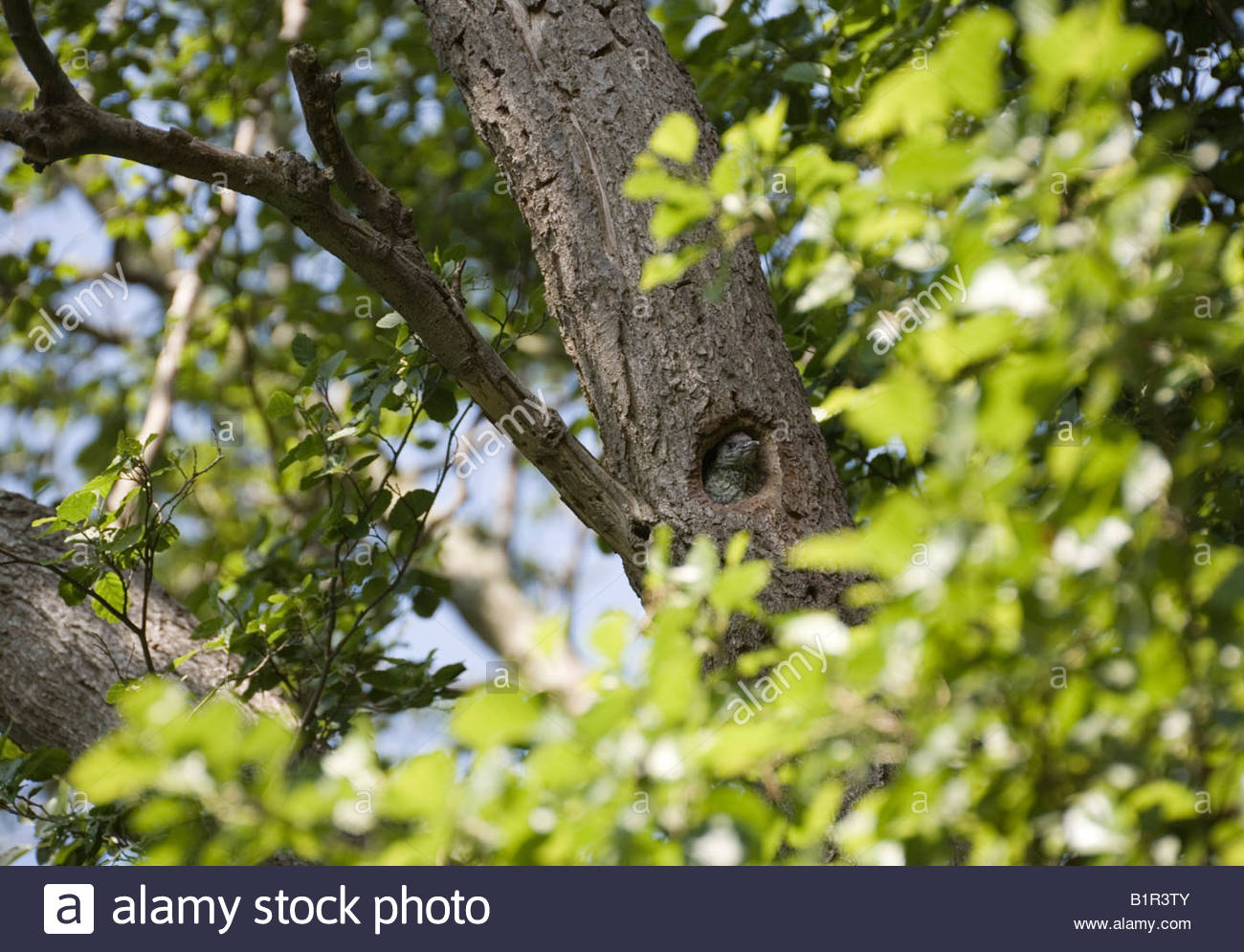 Green Woodpecker chick looking out of nest hole Picus Viridis/Picidae - Stock Image