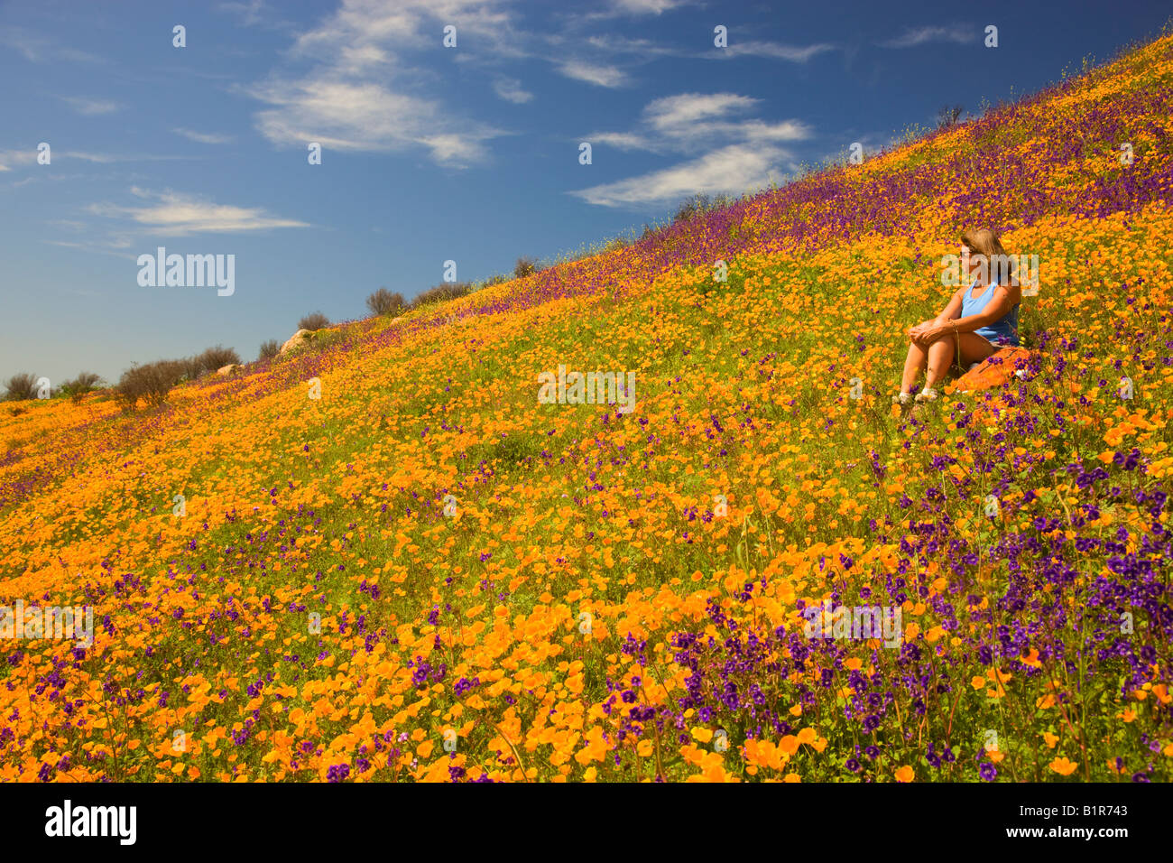 A hiker enjoying the wildflowers primarily California Poppy in the hills above Lake Hodges San Diego County California - Stock Image