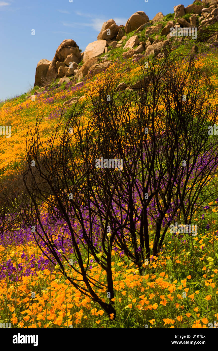 Wildflowers in a burn area near Lake Hodges California - Stock Image