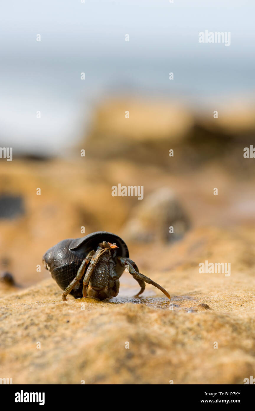 Hermit crab on a coastal rock. Scotland - Stock Image