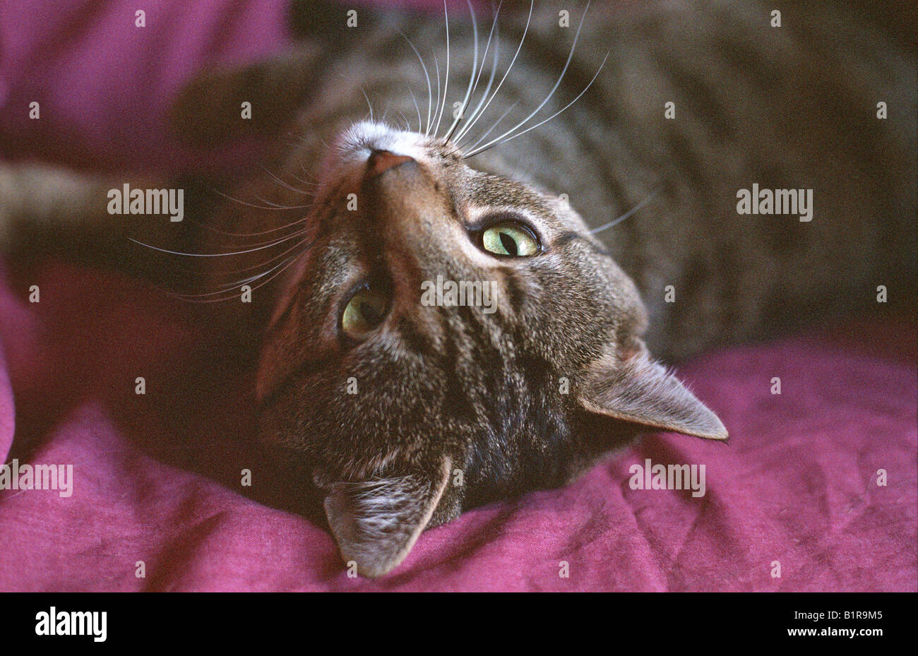 Head Shot Of Tabby Cat With White Chin Whiskers Relaxing Chilling Stock Photo Alamy
