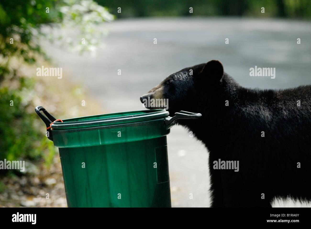 Bear smelling garbage can bin - Stock Image
