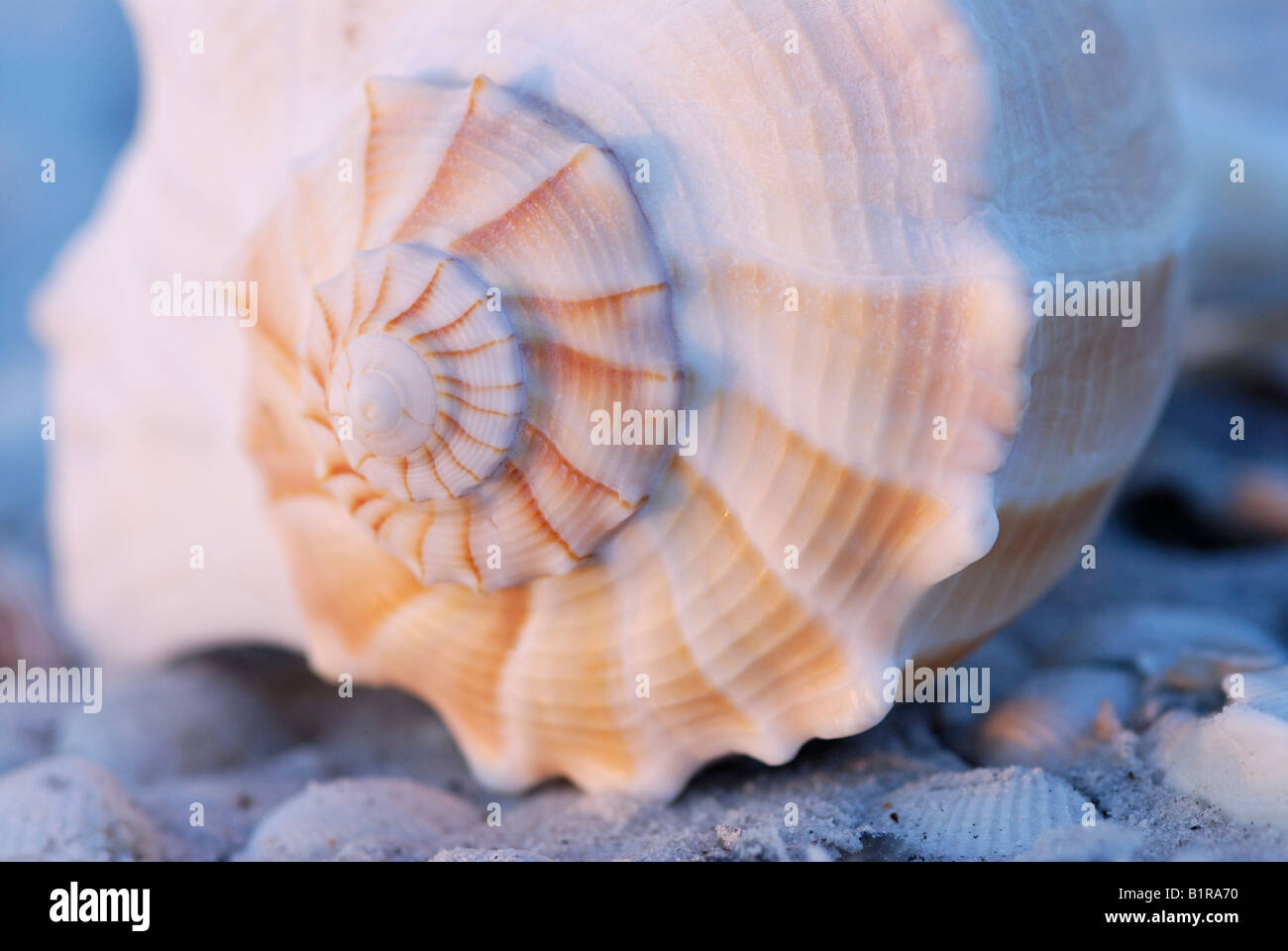 Lightning whelk Busycon contrarium shell close up of apex spiral with dawn light Sanibel Island Florida - Stock Image