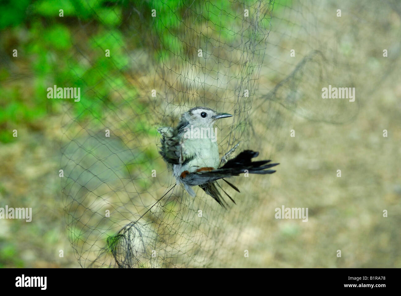 Gray catbird, Dumetella carolinensis, caught in a biologist's mist net - Stock Image