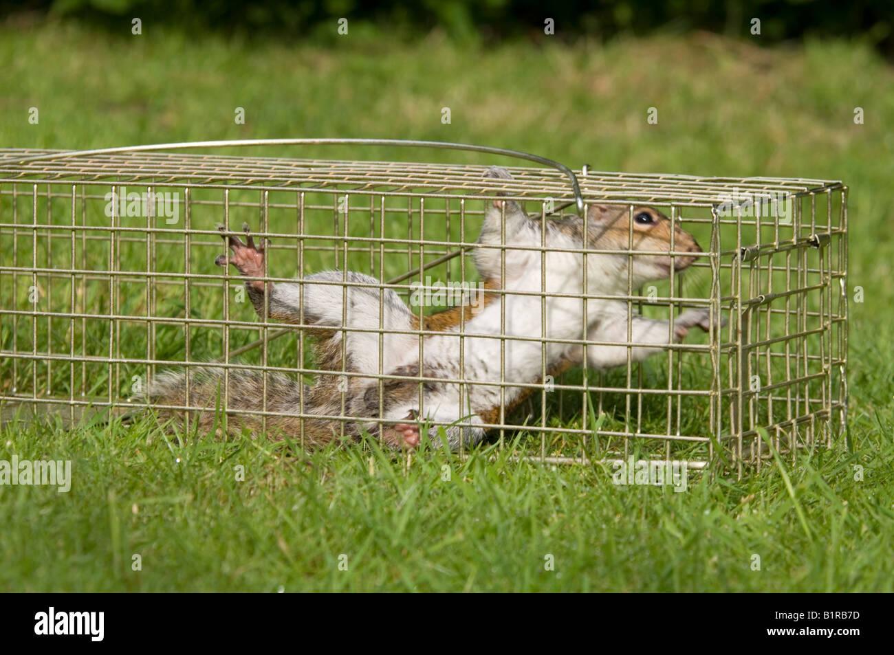 Grey Squirrel caught in a Humane Squirrel Trap Sciurus Carolinensis Surrey UK - Stock Image