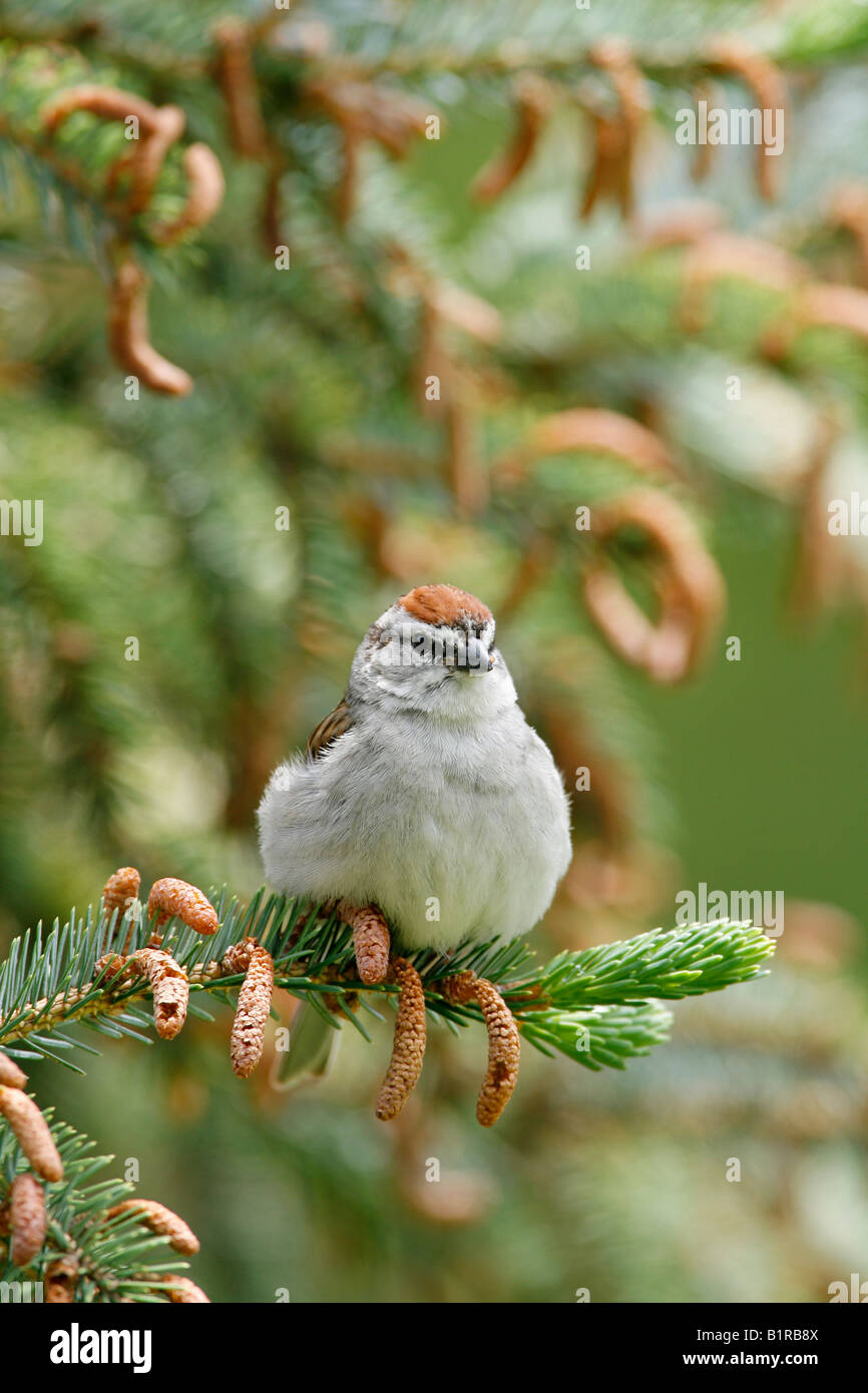 Chipping Sparrow perched in Spruce Tree - Vertical Stock Photo