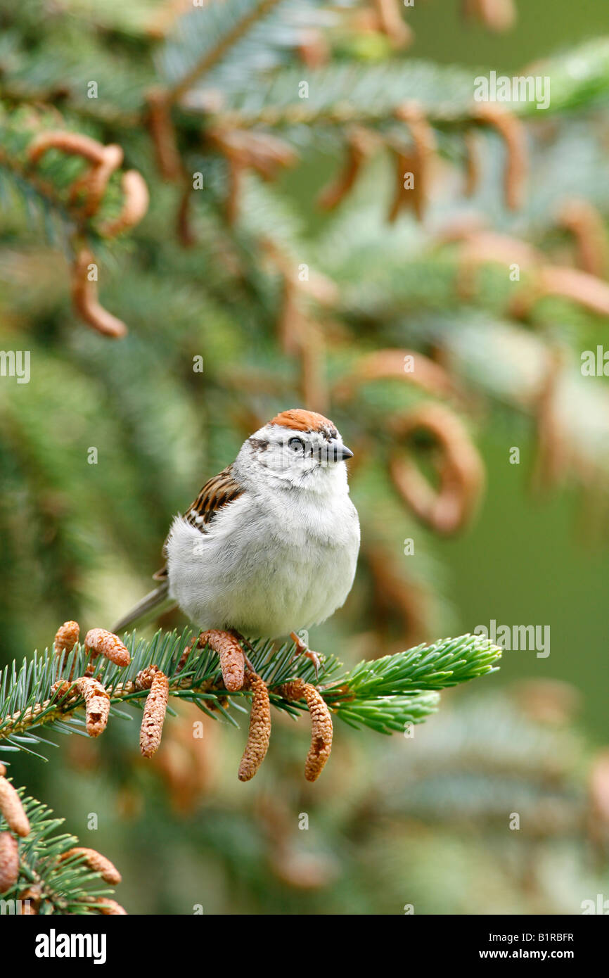 Chipping Sparrow perched in Spruce Tree - Vertical - Stock Image