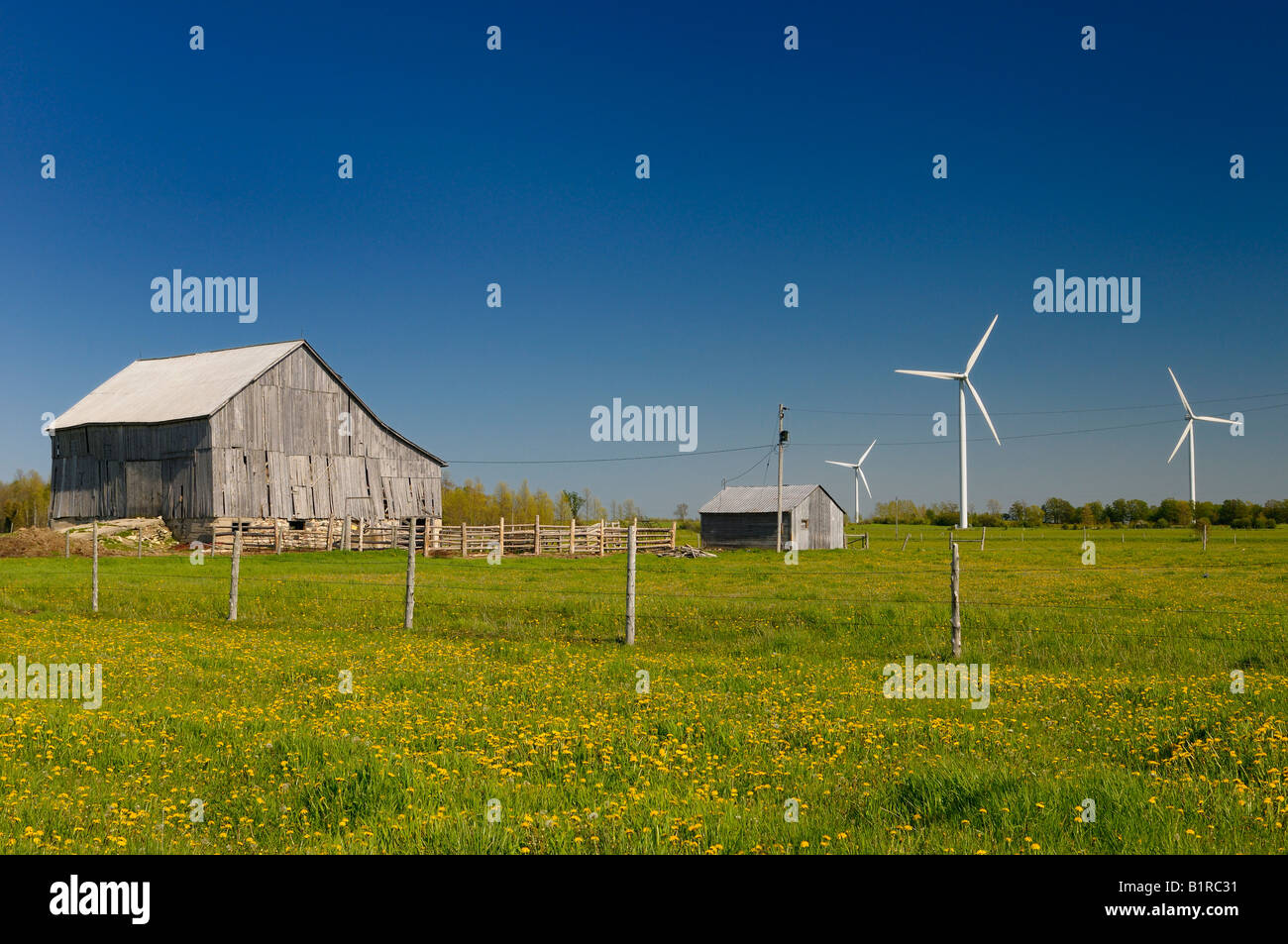 Dandelions and dilapidated barn at Ferndale Wind Farm Bruce Peninsula Ontario - Stock Image