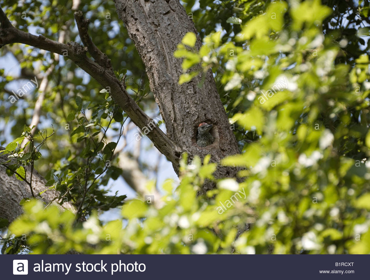 Green woodpecker chick at nest hole awaiting food Picus Viridis Picidae - Stock Image