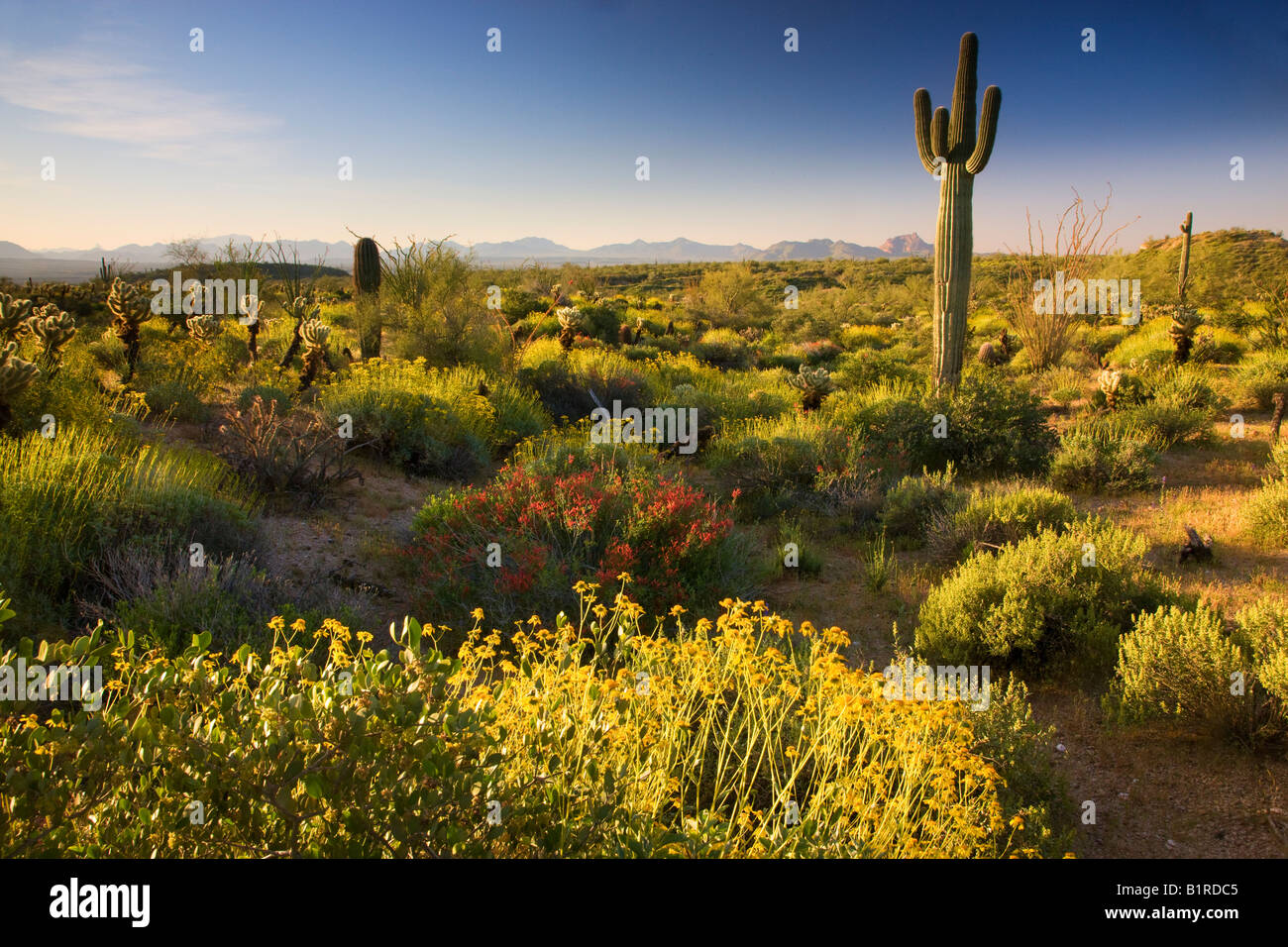 Wildflowers and cactus at McDowell Mountain Regional Park near Fountain Hills outside of Phoenix Arizona - Stock Image
