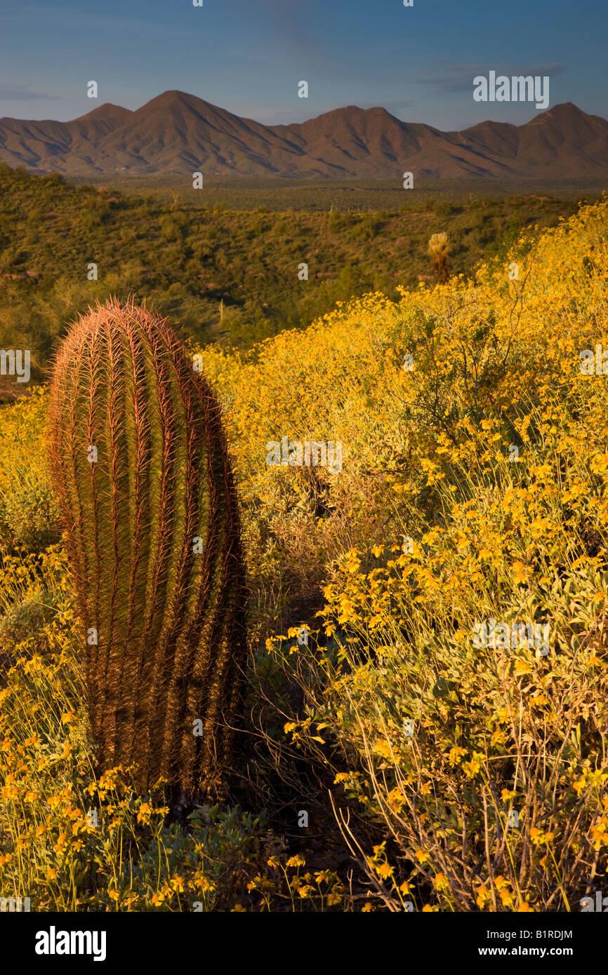 Wildflowers primarily Brittlebush at McDowell Mountain Regional Park near Fountain Hills outside of Phoenix Arizona - Stock Image
