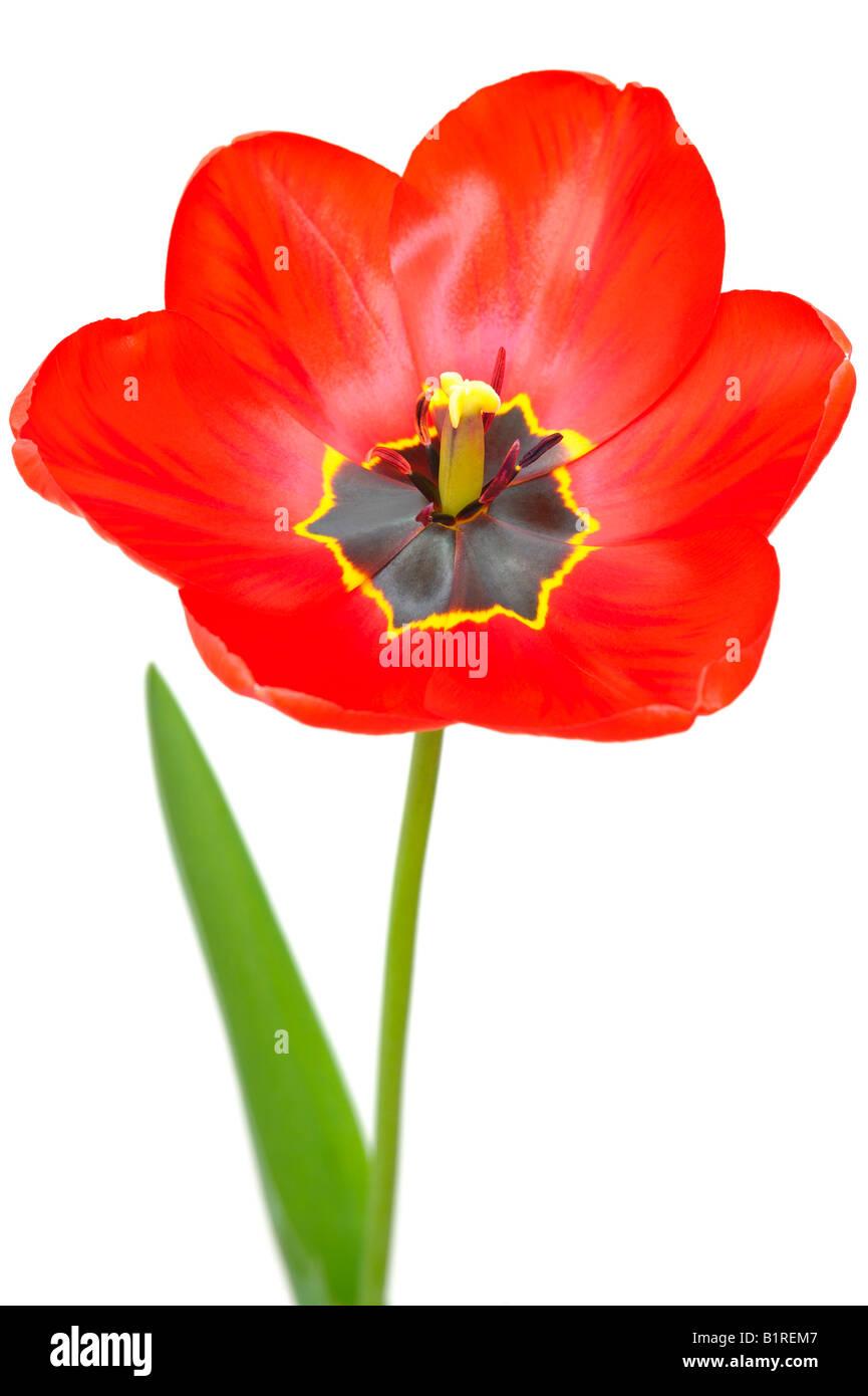 Red Tulip (Tulipa) - Stock Image