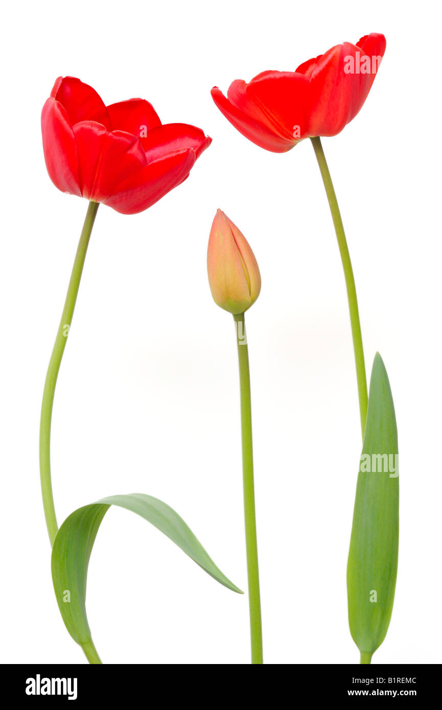 Two red Tulips (Tulipa) and a Tulip bud - Stock Image