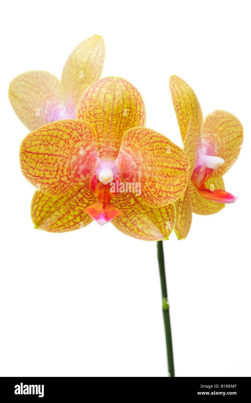 Orchid flowers, Orchidaceae (Phalaenopsis hybrid) - Stock Image