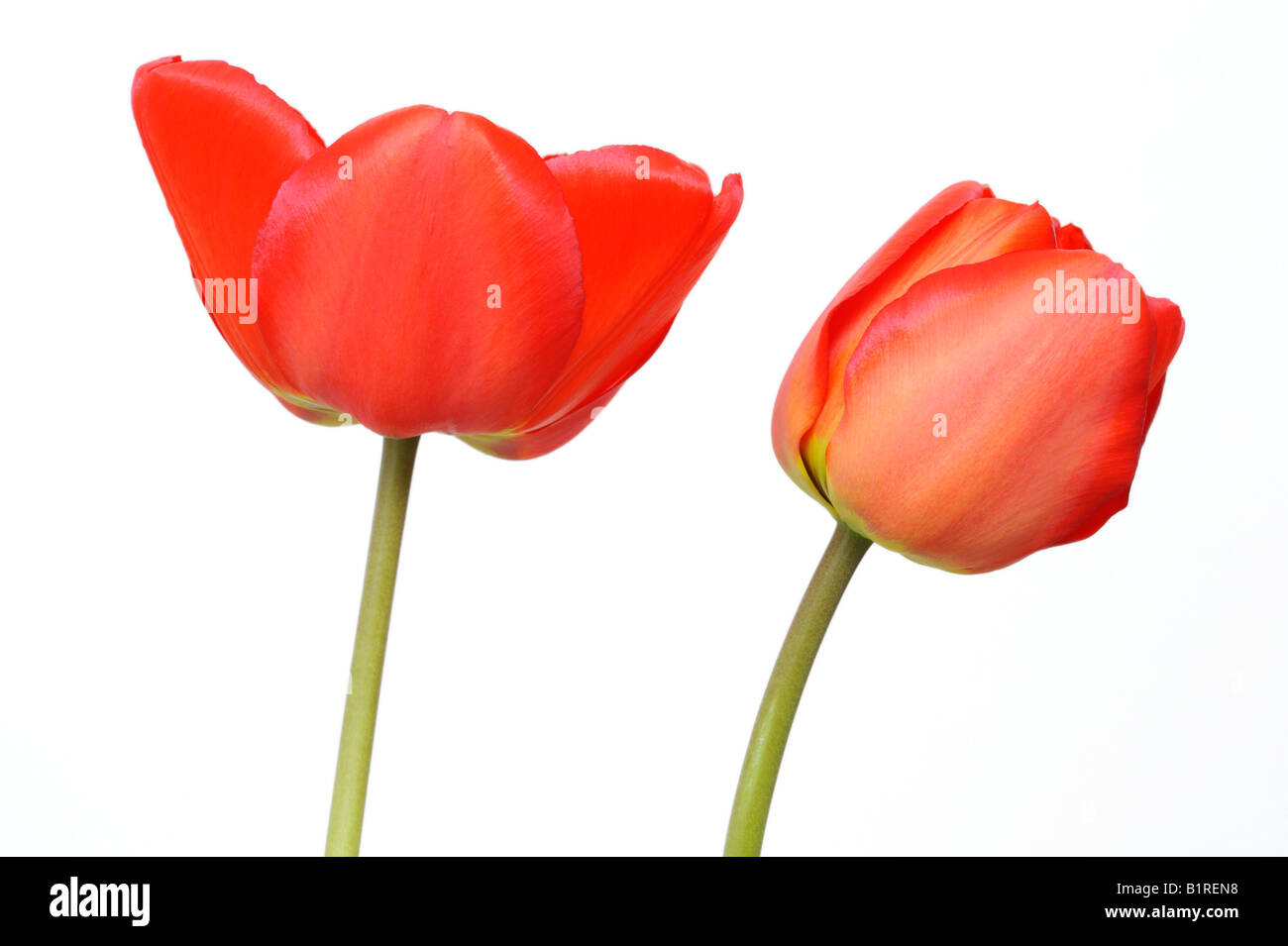 Red Tulips (Tulipa) - Stock Image