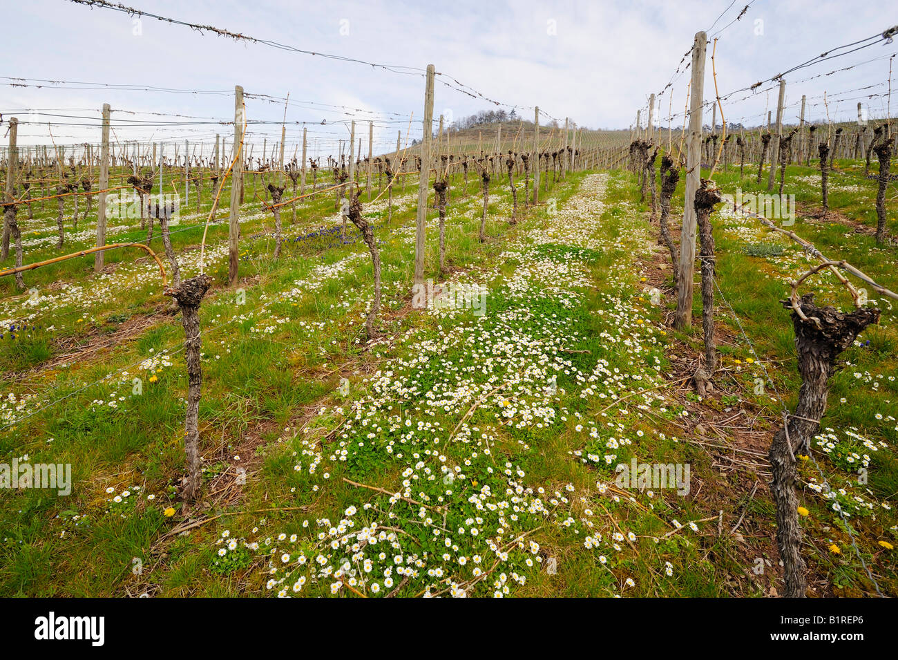 A vineyard with daisies after pruning in spring, Kleinheppacher Kopf by Stuttgart, Baden-Wuerttemberg, Germany, Stock Photo