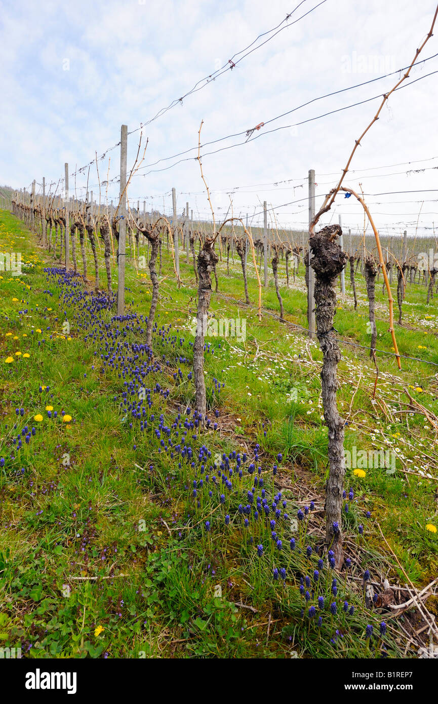 A vineyard with daisies after pruning in spring, Kleinheppacher Kopf by Stuttgart, Baden-Wuerttemberg, Germany, Stock Photo