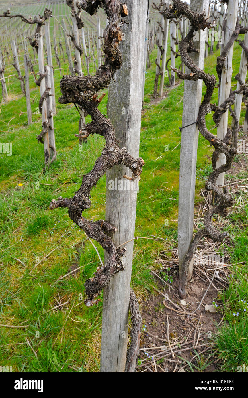 Grape-vines after pruning in spring Stock Photo