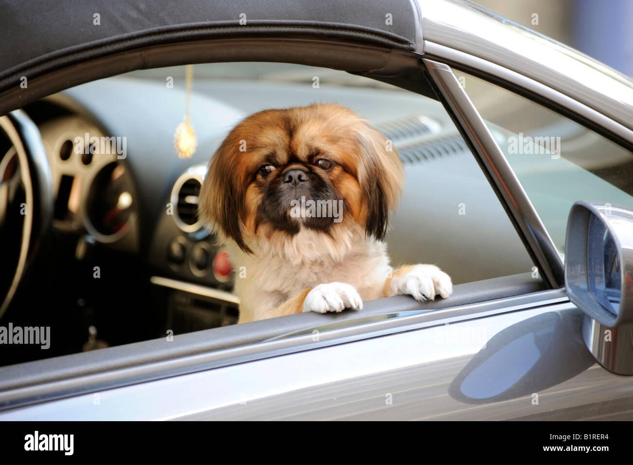 Lapdog, Pekingese or Pekinese dog in a car, Munich, Bavaria, Germany, Europe - Stock Image