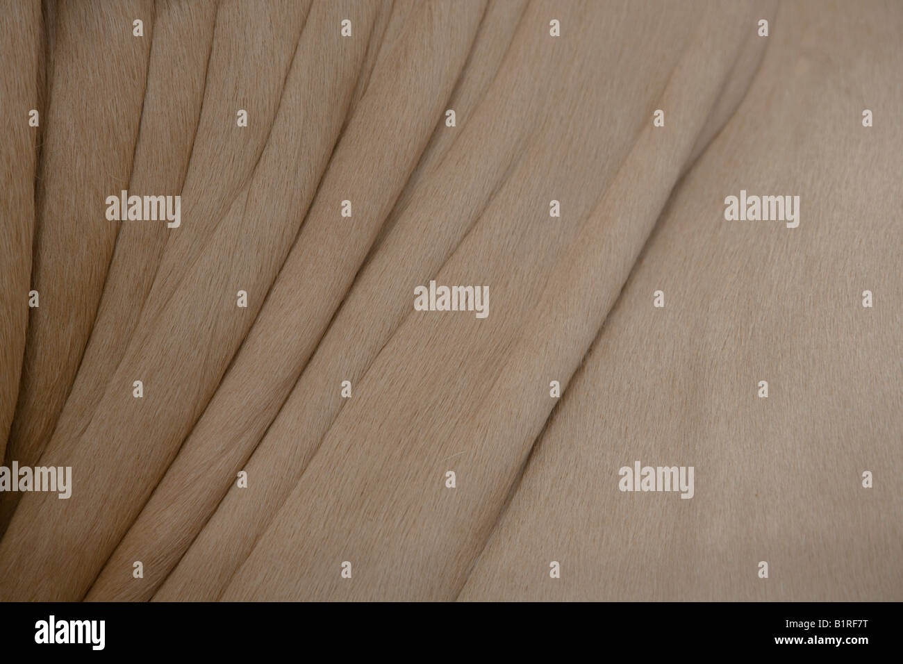 Folds in the skin of the neck and body of a Blond D Aqutaine breed of cattle - Stock Image